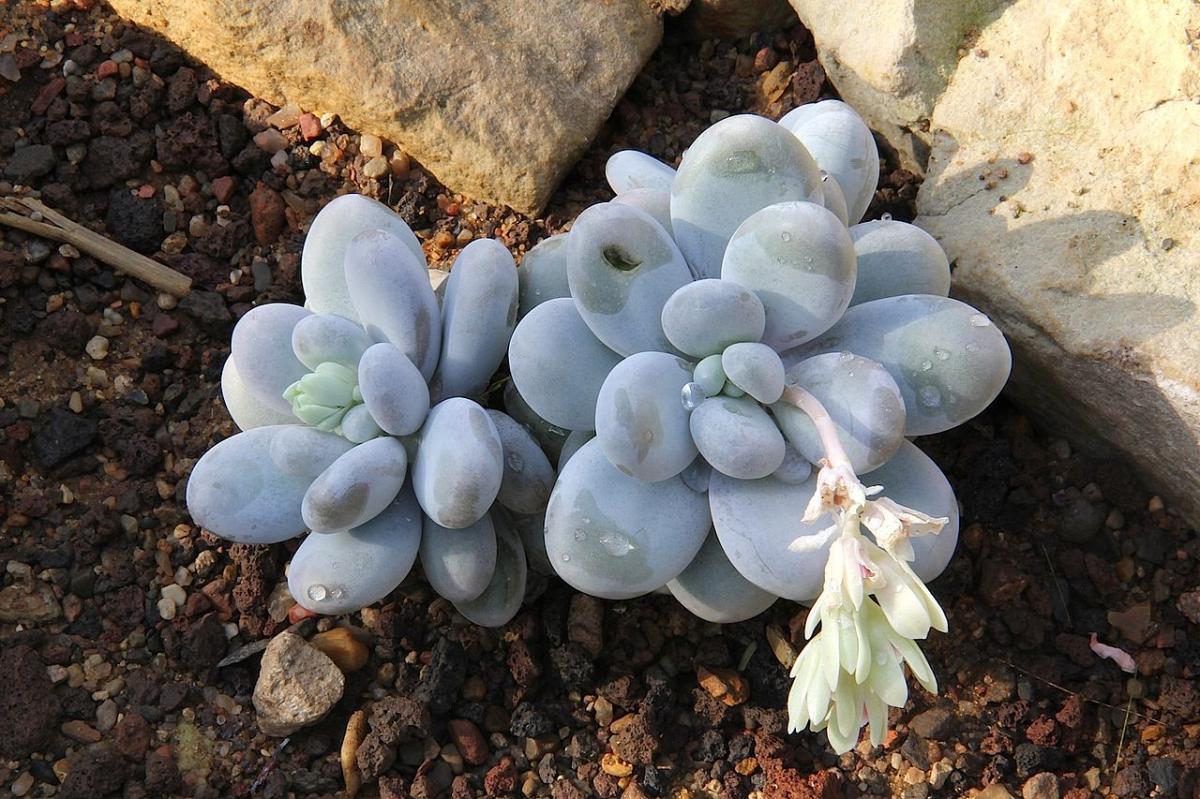 El Pachyphytum oviferum es una suculenta pequeña