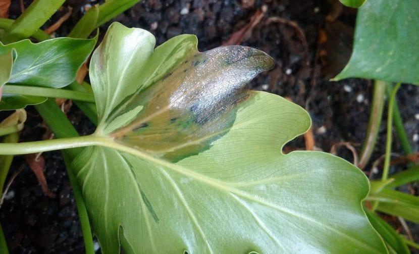 El filodendro puede verse afectado por enfermedades