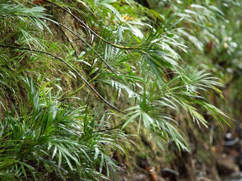 Pinanga rivularis