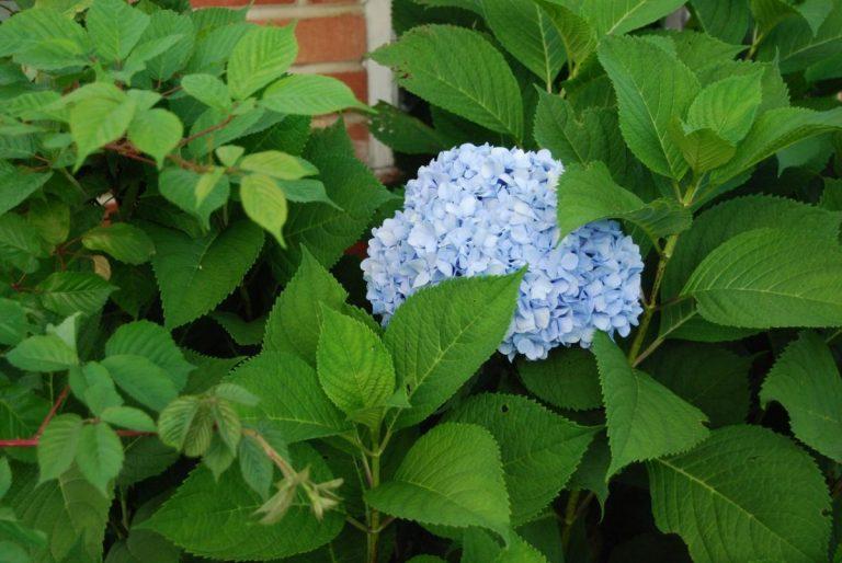 La hortensia es un arbusto que florece en abundancia
