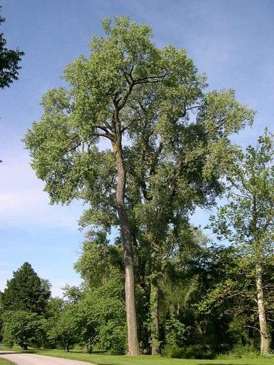 Ejemplar adulto de Populus deltoides