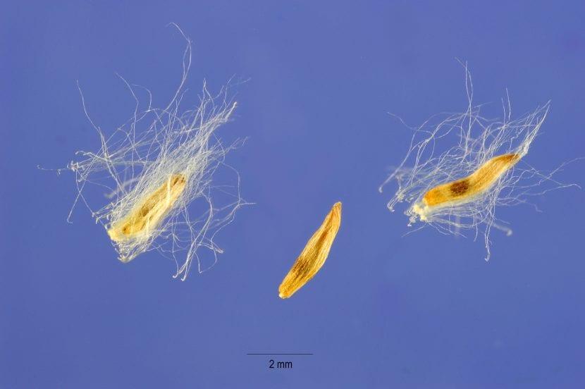 Vista de las semillas de Populus deltoides