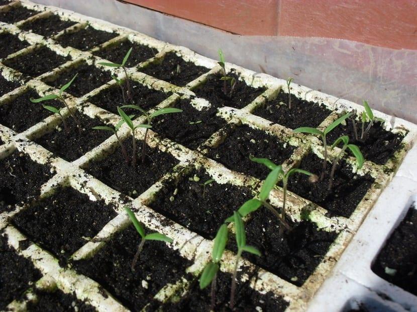 semillero