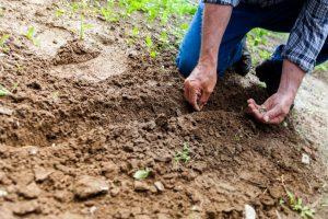 La siembra en filas es interesante para cultivar plantas