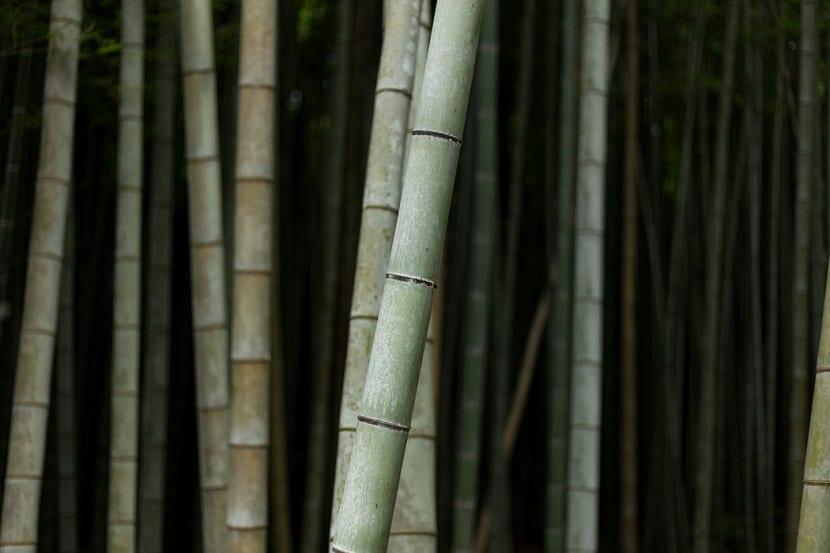 caracterisiticas del bambu