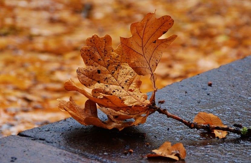 Contraindicaciones de las hojas de Roble