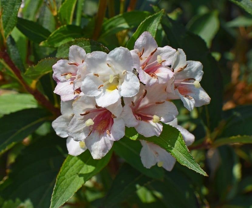 La Abelia es un arbusto de jardín, provisto de una abundante y hermosa floración