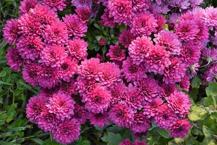 Usos del Chrysanthemum Segetum