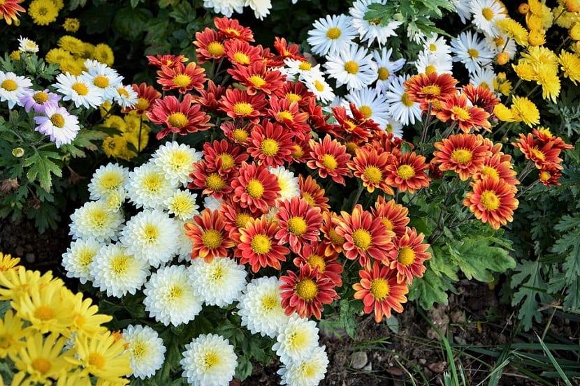 es una planta milenaria cuyas flores han sido muy apreciadas desde siempre