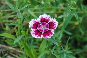 Dianthus chinensis es el nombre científico de la clavelina