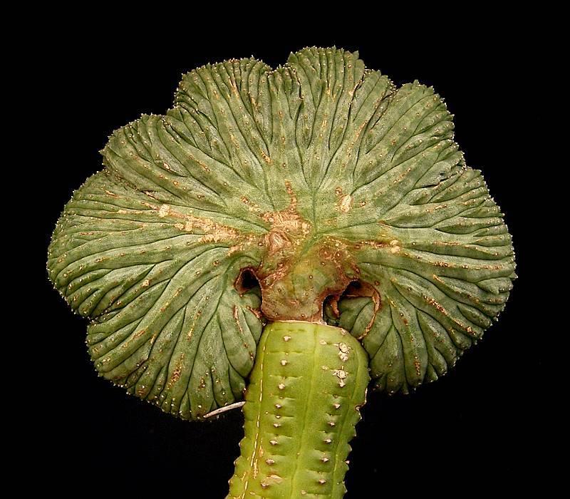 Euphorbia obesa f. cristata injertada