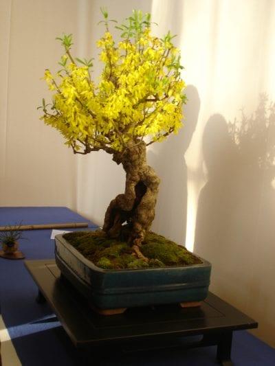La forsitia es tan resistente que se puede trabajar como bonsái