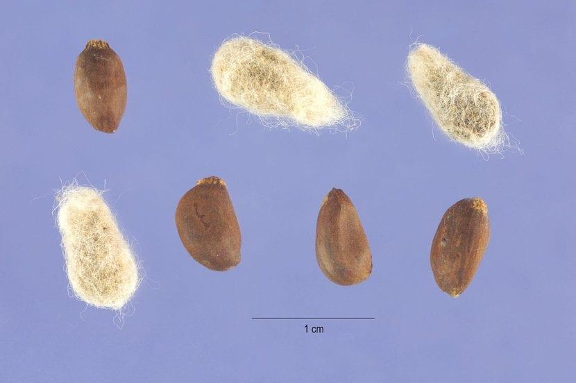 Semillas de Gossypium hirsutum, la planta de algodón