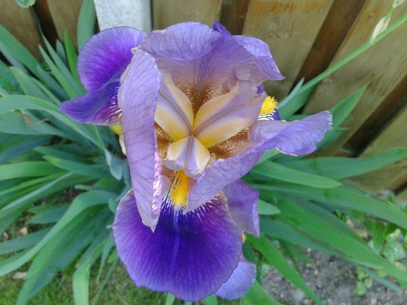 Las flores del iris germanica son moradas y muy bonitas