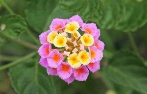 Lantana camara flor de cerca