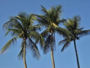 origen del cocotero
