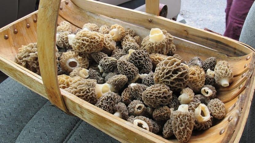 Recogida de la colmenilla en cestas