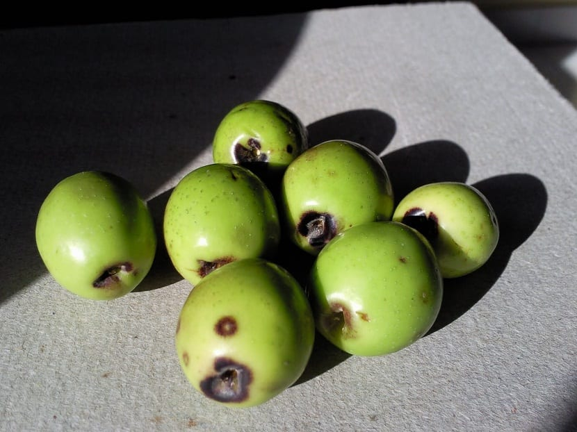 Daños que provoca la mosca del olivo