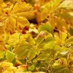 Vista de las hojas del Aesculus hippocastanum en otoño