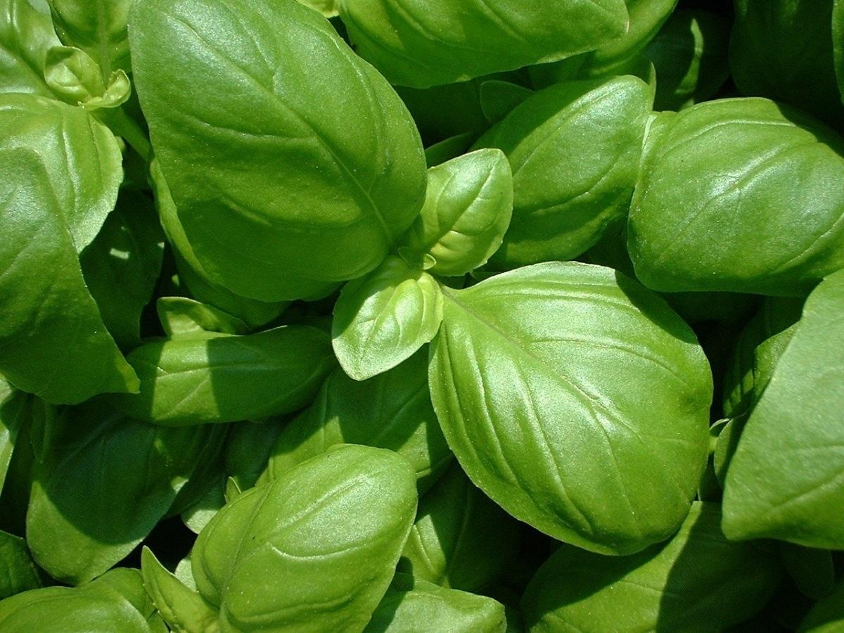La albahaca es una planta que se poda todo el año