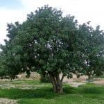 Algarrobo, un árbol idóneo para hacer sombra