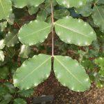 El algarrobo es un árbol perenne