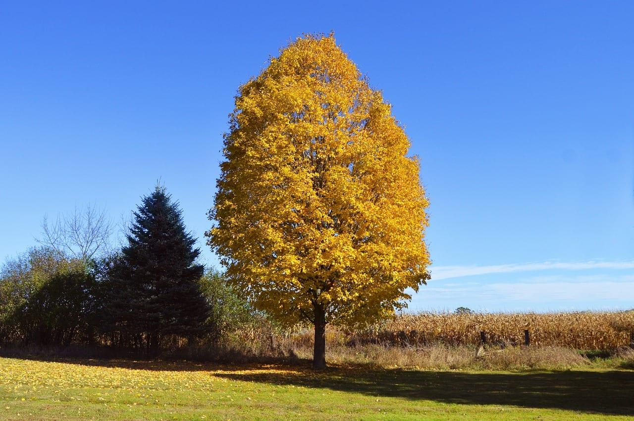 Ejemplar de un árbol que se vuelve amarillo en otoño