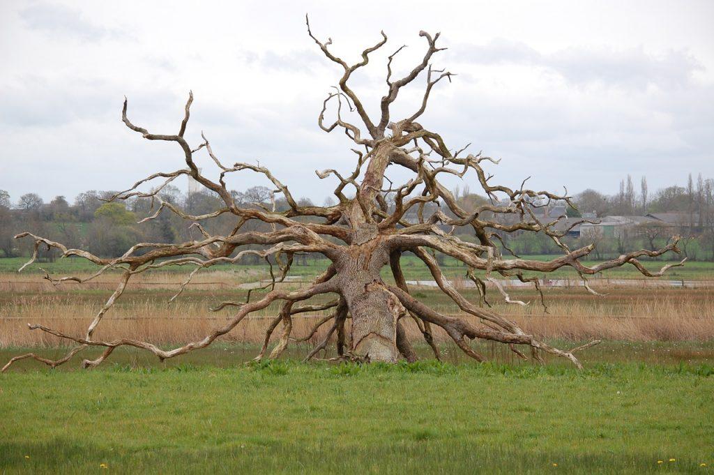 Los árboles se mueren al cabo de varias décadas