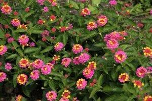 arbusto lleno de flores de la Lantanas