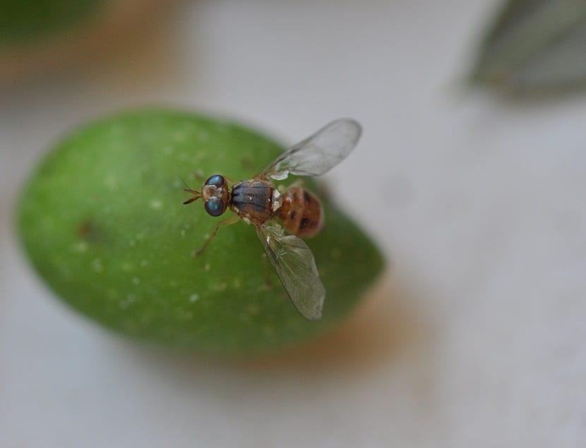 A la mosca del olivo de igual forma la podemos conocer con el nombre científico de Bactrocea oloeae