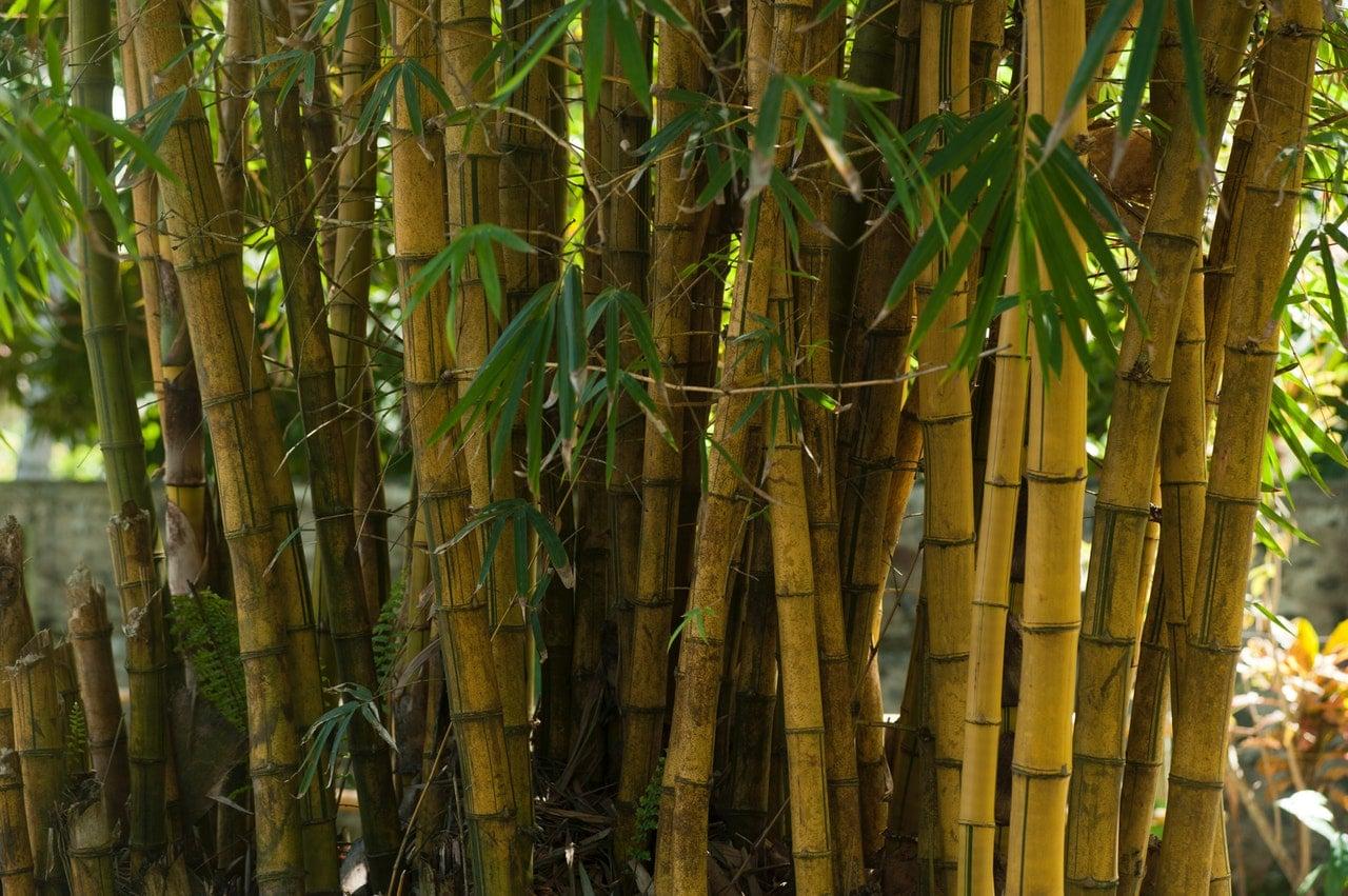 El bambú es una planta que se puede controlar
