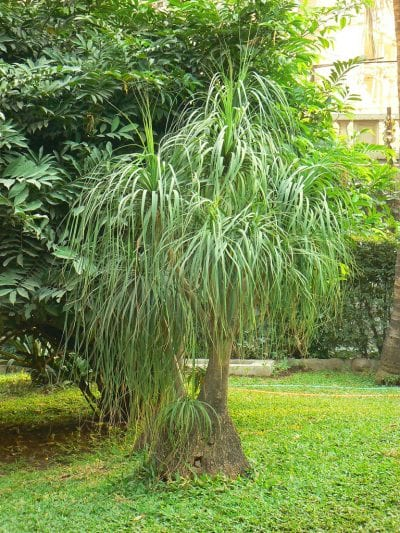 Beaucarnea recurvata, la especie más popular del género
