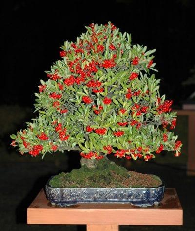 La Pyracantha se puede trabajar como bonsái