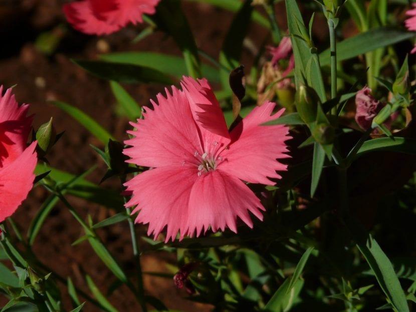 La clavelina es una planta que puedes cultivar en maceta