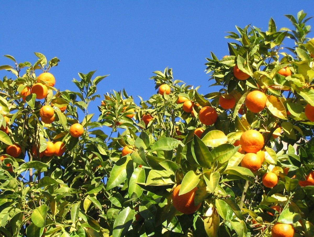 El naranjo es un árbol que da muchos frutos