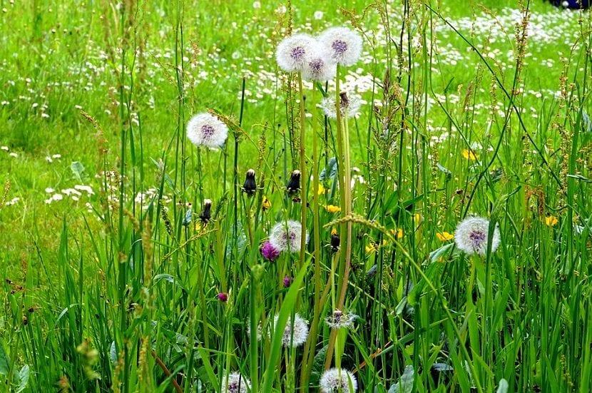 El Taraxacum officinale es una hierba perenne con una altura de hasta 60 cm