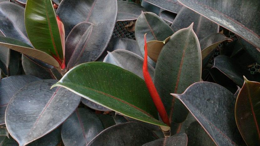 Las hojas del Ficus robusta son grandes y bonitas
