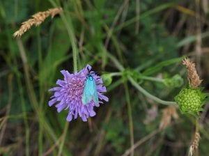 El Statice es una planta que se le conoce con el nombre científico de limonium sinuatum