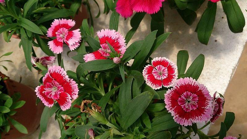Las flores de la clavelina son pequeñas pero muy decorativas