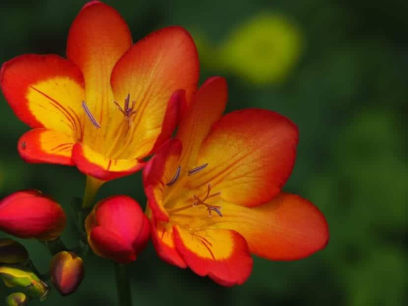 Las Freesia son flores muy bonitas