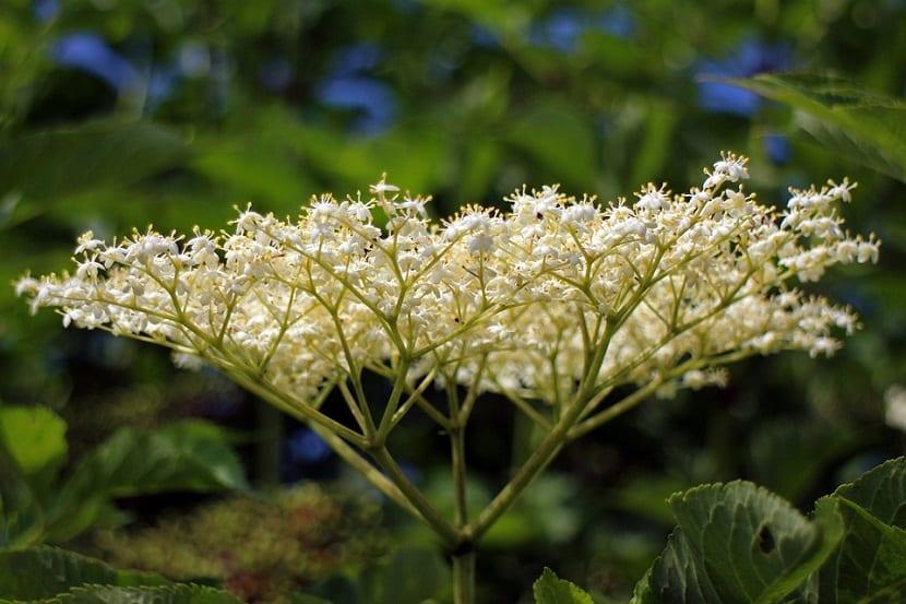 Las flores se componen de aceite esencial, flavonoides, ácidos fenólicos, taninos, vitamina C y minerales