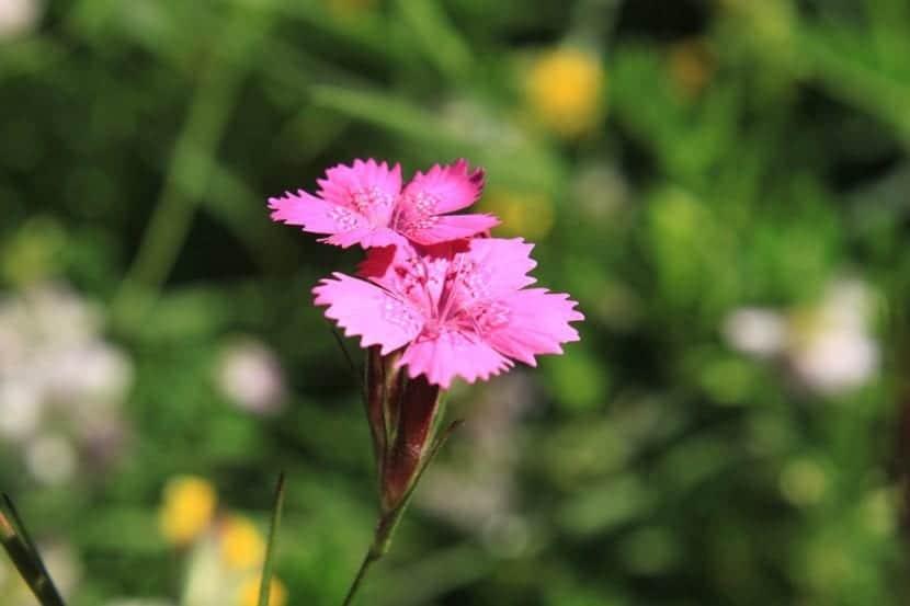 La clavelina tiene flores de varios colores, entre ellos el rosa