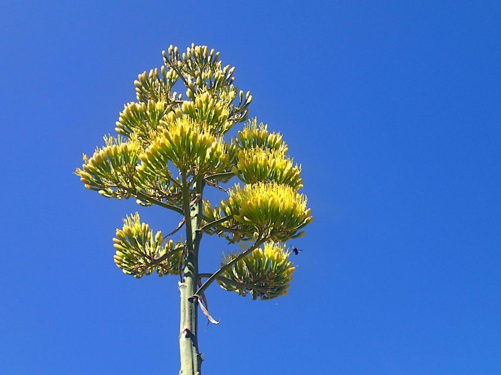 El agave muere tras florecer