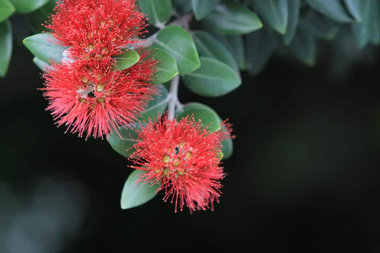 Flores de Metrosideros