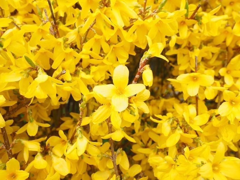 La forsitia es uno de los arbustos que más flores producen