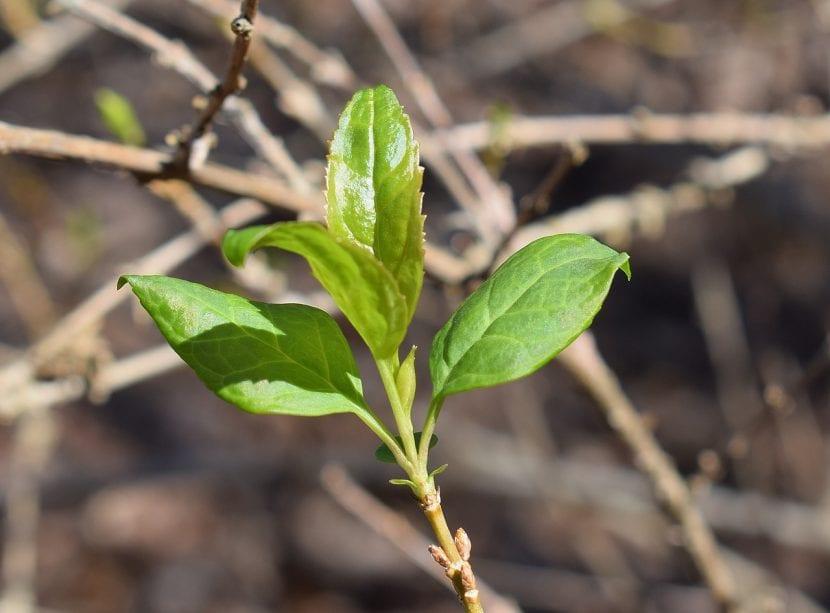 Las hojas de la forsitia son pequeñas y verdes