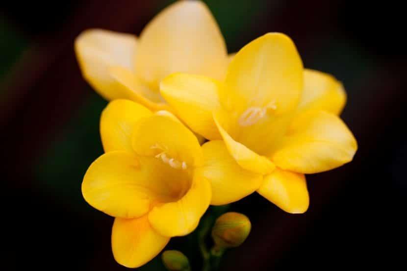 Las flores de freesia pueden ser de varios colores, como el amarillo