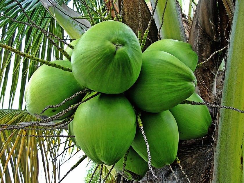 Las hojas del cocotero pueden llegar a medir hasta 3 metros de largo