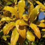 Las hojas del granado se vuelven amarillas en otoño