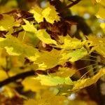 Vista de las hojas del Acer platanoides en otoño